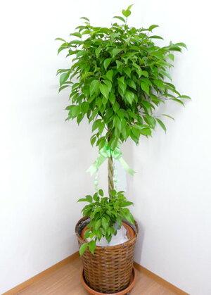 【個人宛配送不可】観葉植物フィカスベンジャミン10号鉢ブラウンバスケット大鉢受皿付