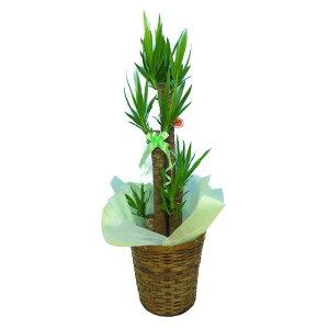 観葉植物ユッカエレファンティペス青年の樹8号鉢茶かご受け皿付きブラウンバスケット高さ100〜120cm程度中型大型インテリアグリーンギフト寒さに強い
