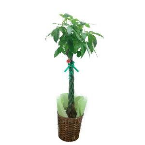 【個人宛配送不可】観葉植物パキラアクアティカ発財樹10号鉢ブラウンバスケット大鉢受皿付