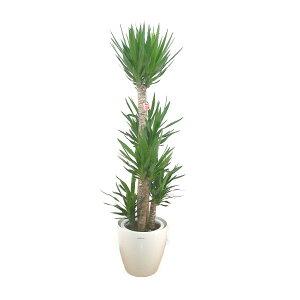【個人宛配送不可】観葉植物ユッカエレファンティペス青年の樹10号鉢白ラスターポット受け皿付き高さ160〜180cm程度大型インテリアグリーンギフト寒さに強い