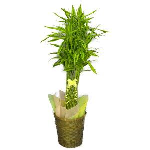 観葉植物ドラセナサンデリアーナライム(幸運の竹・ラッキーバンブー)8号鉢かご・受け皿付き