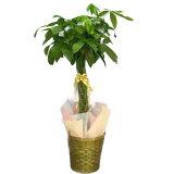 観葉植物 パキラ 発財樹 8号鉢 茶かご 受け皿付き ブラウンバスケット 高さ90〜120cm程度 中型 大型 インテリアグリーン ギフト 寒さに強い