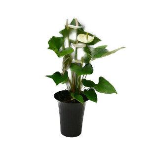 観葉植物アンスリウム白6号鉢黒丸鉢セラアート鉢受け皿付き