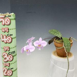 【つぼみ付き株】ファレノプシスシレリアナPhal.schilleriana原種3号鉢20cm開花サイズ(BS)