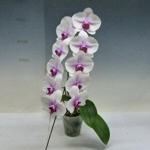 【花なし株】ドリテノプシスマウントリップDtps.MountLip交配種3号鉢20cm開花サイズ(BS)