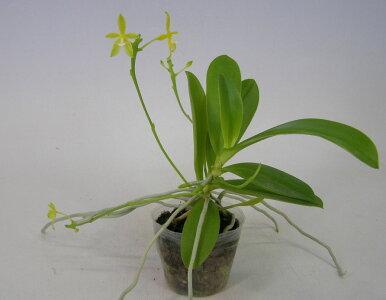 【花なし株】ファレノプシスコルヌセルビアルバPhal.cornu-cervivar.alba原種4号鉢30cm開花サイズ(BS)