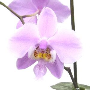 【花なし株】ファレノプシスシレリアナPhal.schilleriana原種芳香あり3号鉢20cm開花サイズ(BS)