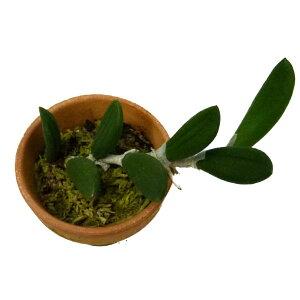 【花なし株】デンドロビュームリンギフォルメヌゲンティーDen.linguiformevar.nugentii原種2.5号鉢15cm開花サイズ(BS)