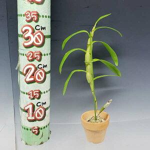 【花なし株】デンドロビュームトーチールルブラ'ジュン'Den.tortilevar.rubra'Jun'原種2.5号鉢30cm開花サイズ(BS)