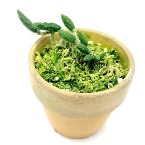 【花なし株】デンドロビュームククメリナムDen.cucumerinum原種2号鉢10cm開花サイズ(BS)