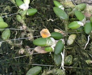 【花なし株】デンドロビュームリッチェンアストラムトゥエンティシーDen.lichenastrumvar.twenticii原種2.5号鉢10cm開花サイズ(BS)