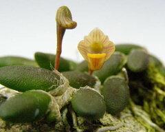デンドロビューム リッチェンアストラム トゥエンティシーDen.lichenastrum var. twenticii【花なし株】【原種】