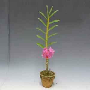 【花なし株】デンドロビュームシュードグロメラタム'ワンダフルワールド'Den.pseudoglomeratum'WonderfulWorld'SM/JOGA(=Den.chrysoglossum)原種2.5号鉢40cm開花サイズ(BS)