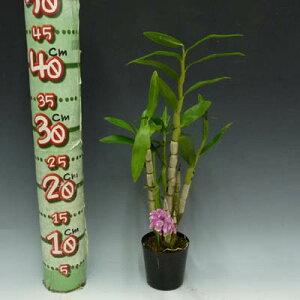 【花なし株】デンドロビュームオーハラノDen.Oharano交配種3号鉢30cm開花サイズ(BS)
