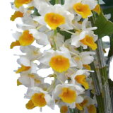 【花なし株】 デンドロビューム シルシフローラム Den.thyrsiflorum 原種 4号鉢 60cm 開花サイズ(BS)