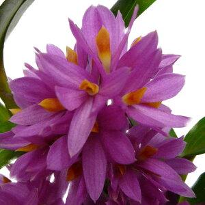 【花なし株】デンドロビュームヒビキDen.Hibiki交配種3号鉢20cm開花サイズ(BS)