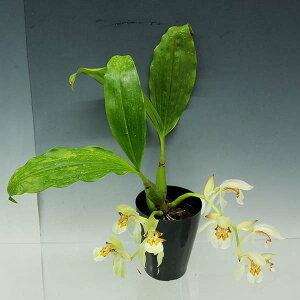 【花なし株】セロジネアッサミカCoel.assamica原種芳香あり3号鉢25cm開花サイズ(BS)