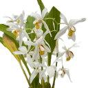 【花なし株】 セロジネ オクラセア Coel.ochracea 原種 ...