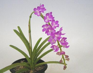 【花なし株】エリデスクラビエンセAer.krabiense原種芳香あり3号鉢25cm開花サイズ(BS)