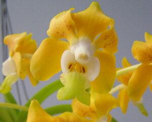 バンダ デニソニアナ V.denisoniana【花なし株】【原種】【芳香性】