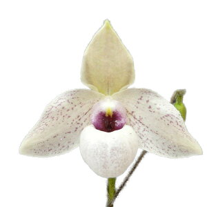 【花なし株】パフィオペディラムリンレイクーポウィッツPaph.LynleighKoopowitz交配種芳香あり2.5号鉢10cm1作開花サイズ(NBS)