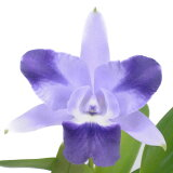 【花なし株】 レリオカトレア キャリアズミニクイニー 'エンジェルキッス' Lc.Caria's Mini-Quinii 'Angel Kiss' BM/JOGA 交配種 3号鉢 20cm 開花サイズ(BS)