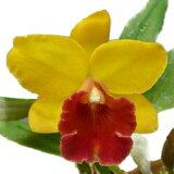 【花なし株】 ポチナラ スウィートシュガー 'イエローフラッシュ' Pot.Sweet Sugar 'Yellow Flash' 交配種 3号鉢 25cm 開花サイズ(BS)