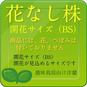 【花なし株】グラマトフィラムスクリプタム'ヒヒマヌ'Gram.scriptum'Hihimanu'AM/AOS(82)原種芳香あり4号鉢40cm開花サイズ(BS)