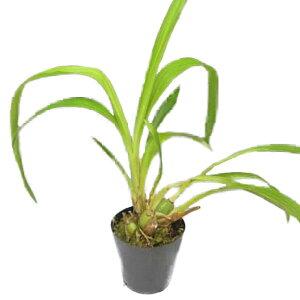 【花なし株】ジゴペタラムマッケイZyg.mackayi('Eriko'xself)原種芳香あり3.5号鉢30cm開花サイズ(BS)