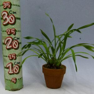 【花なし株】マキシラリアマージナータMax.marginata原種芳香あり3号鉢25cm開花サイズ(BS)