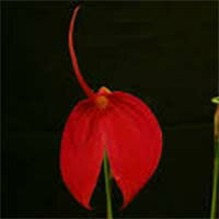 【花なし株】マスデバリアコクシネア'レイウッド'Masd.coccinea'Leywood'AM/AOSSM/JOGA原種2.5号鉢20cm開花サイズ(BS)