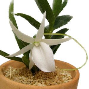 【花付き株】アングレカムディディエリAngcm.didieri(木に着生させたタイプ)原種芳香あり2.5号鉢20cm開花サイズ(BS)