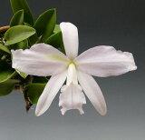 レリア シンコラーナ セルレア 'ホセロドリゲス'L.sincorana var. coerulea 'Jose Rodrigues'【花なし株】【原種】
