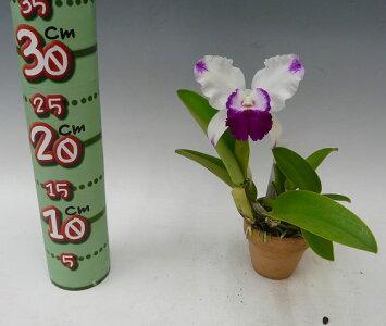 【花なし株】レリオカトレアドロシーオカ'ユミ'Lc.DorothyOka'Yumi'交配種3号鉢30cm開花サイズ(BS)