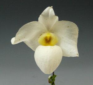 パフィオペディラム アルメニホワイトPaph.Armeni White (armeniacum x delenatii)【花なし株】