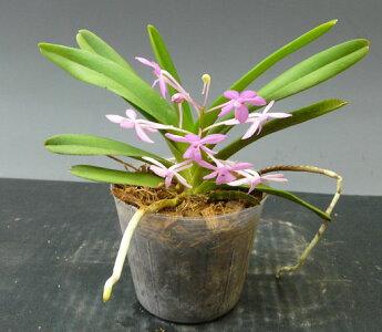 【花なし株】アスコフィネチアプチブーケAscf.PetitBouquet交配種3号鉢25cm開花サイズ(BS)