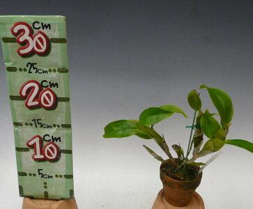 【花なし株】デンドロビュームラメラータDen.lamelata原種3号鉢25cm開花サイズ(BS)