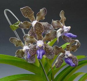 紫が美しくグレープの香りがしますバンダ テッセラータV.tessellata 小サイズ【花なし株】【原...