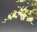 オンシジューム トゥインクル 'フレグランスファンタジー'Onc.Twinkle 'Fragrance Fantasy'...