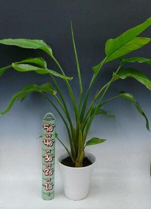 観葉植物ストレリッチアオーガスタ8号白丸陶器鉢