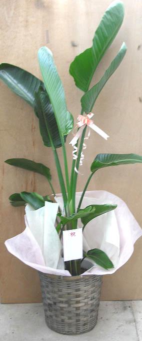 【個人宛配送不可】観葉植物ストレリチアオーガスタニコライ10号鉢茶かご受け皿付きブラウンバスケット高さ160〜180cm程度大型インテリアグリーンギフト寒さに強い南国風