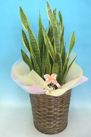 観葉植物サンセベリアトラノオ10号鉢ブラウンバスケット大鉢受皿付