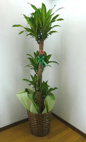 【個人宛配送不可】観葉植物ドラセナフレグランスマッサンゲアナ幸福の木10号鉢ブラウンバスケット大鉢受皿付