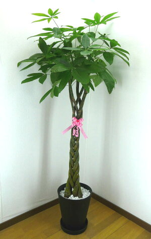 【個人宛配送不可】パキラアクアティカ10号鉢黒丸鉢受け皿付きセラアート鉢白石マルチング観葉植物