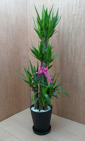 ユッカエレファンティペス8号鉢黒丸鉢受け皿付きセラアート鉢白石マルチング観葉植物