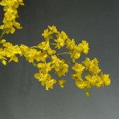オンシジューム トゥインクル 'イエローデイズ'Onc.Twinkle 'Yellow Days'【花なし株】【芳香性】