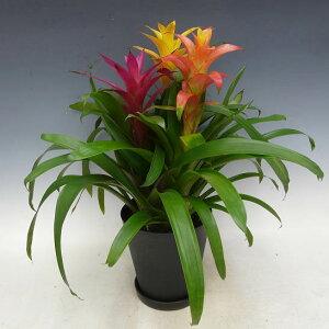 観葉植物グズマニア3色植え7号鉢黒丸鉢受け皿付きセラアート鉢高さ60〜70cm程度小型中型インテリアグリーンギフト