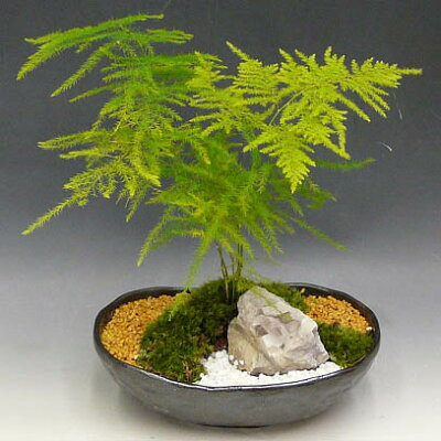 限定品【複数】観葉植物 苔アート アスパラガス TIZR-80172【現物品】【送料無料】