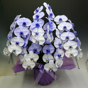 胡蝶蘭大輪パープルエレガンス紫5本立ち