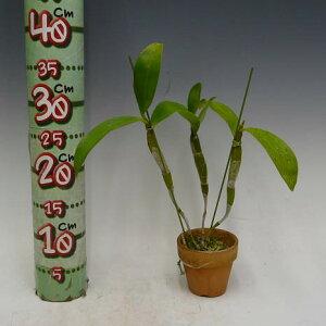 【花なし株】デンドロビュームパルペブラエDen.palpebrae(=Den.farmeriivar.album)原種3号鉢35cm開花サイズ(BS)